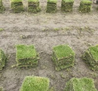 园林绿化优选成都台湾二号草坪 富榛台湾二号草坪基地 量大草坪批发
