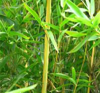 淡竹批发基地 园林绿化竹子小苗 量大从优 致电咨询