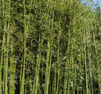 江瑞园艺常年出售竹子 绿化竹子基地 规格齐全 欢迎致电咨询
