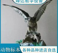 峰达厂家  专业加工标本 动物标本 示教标本 猪骨骼标本 昆虫标本 量大优惠