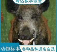 峰达厂家  专业加工标本 动物标本 动物骨骼标本 猪骨骼标本 动物塑化标本 家庭摆件