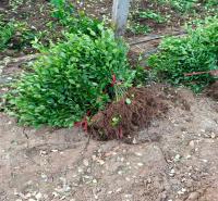 安徽大叶黄杨种植基地 大叶黄杨批发 江瑞园艺供应