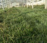 青绿苔草培育 青绿苔草种子一斤发货 好货源 欢迎来电询价