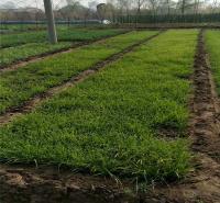 涝峪苔草露天种植 涝峪苔草厂家 价格从优