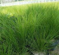 细茎针茅种子一斤发货 细茎针茅培育 墨西哥羽毛草采购