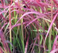 血草种植方法 日本血草青州苗圃供应 血草行情