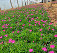山东欧石竹草坪 多年生花卉品种欧石竹 江瑞