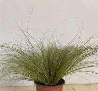 山东迷雾苔草种植方法 迷雾苔草观赏草用苗 易成活