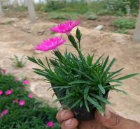 北京花海布景常用花卉欧石竹 四季开花欧石竹 移植易成活