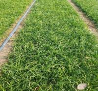 细叶麦冬产地报价 山东细叶麦冬种植方法 江瑞