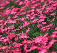 内蒙古欧石竹价低出售 楼盘绿化欧石竹 江瑞花卉提供种植方法