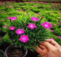 河北绿化常用花卉欧石竹 宿根花卉欧石竹 易成活
