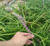 阔叶麦冬大量种植 阔叶麦冬产地报价 江瑞观赏草基地