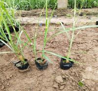 青州观赏草基地 供应各种观赏草 品种全 价格合理 来电咨询