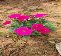 多年生宿根花卉基地 宿根花卉品种 详情致电咨询