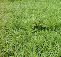 金边麦冬种子一斤发货 金边麦冬路边绿化 欢迎选购